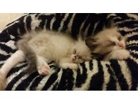 Ragdoll kitten - blue eye - ready to go now😊