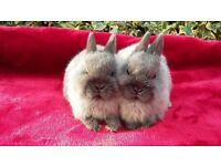 netherland dwarfs for sale