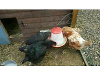5 chickens for sale