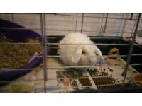 Three year old neutered male lop dog free home cones with cage