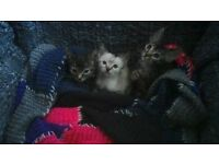 4 kittens for sale, ready now