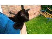kitten for sale male black, BSH mum with bsh/x dad