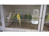22 baby budgies. lots of colours. £199.