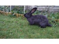 very cheap!!! German Giant Rabbits £25 (offer valid until 22-12-2016)