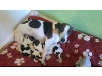 Jackrussel puppys ready 3th july