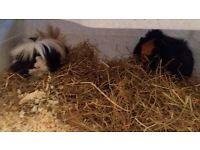 Female guinea pigs x2