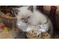Cute Fluffy Ragdoll Kitten