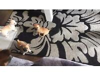 ***🐶Gorgeous Chihuahua Puppies🐶***