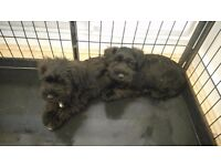 Miniture schnauzer puppies for sale