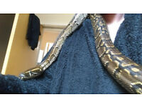 hypo female african rock python need quick sale £150ono