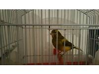 Canary with cage sings well
