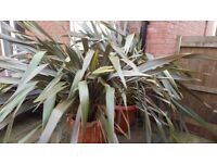 Two large well established Phormium Flax Plants.