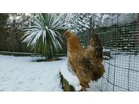 Rare breed bantams - brahma x silkie