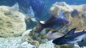 Black fish for sale