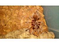 Chili rose tarantula