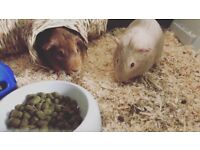 2 male guinea pigs, very friendly.