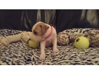 ** BELLA THE GORGEOUS STAFFY FEMALE PUPPY FOR SALE **