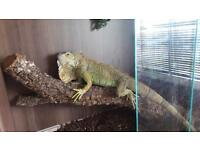 Green Iguana for sale with set up