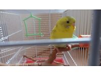 2 budgies + 2 cages for sale