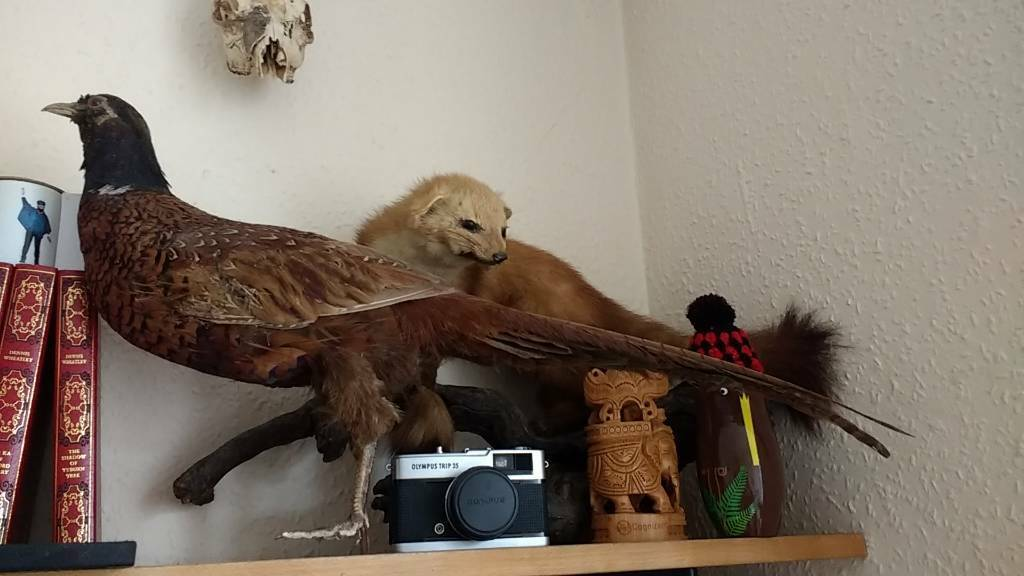 Taxidermy pheasant and weasel