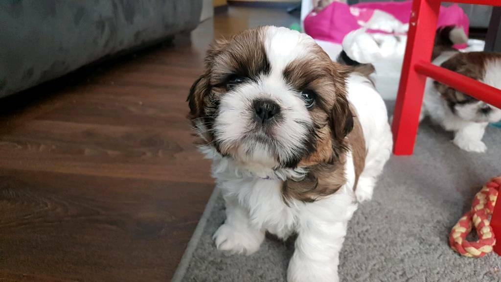 Shih Tzu Boy 10 Weeks Old In Chatham Kent Gumtree
