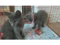 Gorgeous cross Russian Blue male kittens