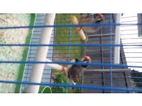 pair of BLACK CHEEKED zebra finches.