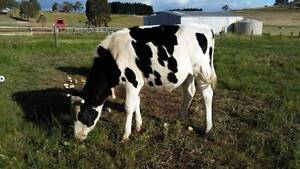 Fresien Steer 2 1/2 years old Whittlesea Whittlesea Area Preview