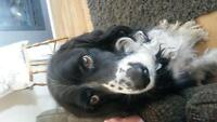 9 year old male border collie spaniel