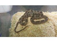 Black Rat Snake £59.99