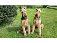 Beautiful Airedale puppies