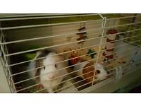Two Guinea pigs and cage