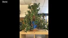 Large money plant / Jade plant.