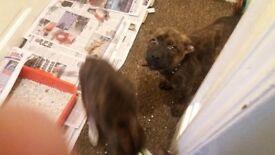 Malinois/rottweiler