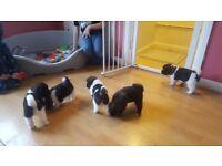Hi i am saleing akita puppy