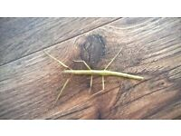 Stick Insects - Free
