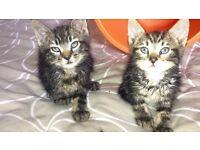 2 tabby male kittens