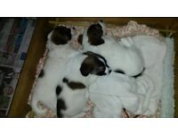 Jack Russell pups, tri-colour, soft broken coated
