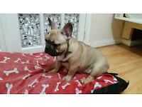 French Bulldog Puppies both parents viewable!