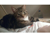 Tabby cat missing for 3 weeks