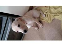 beautiful 17wk female yellow Labrador
