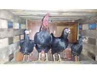1 ROOSTER, 2 HENS , 2 CHICKS (4 MONTHS OLD :1 ASEAL MALE AND 1 FEMALE) SELLING TO A GOOD HOME ONLY>