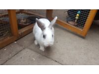 Netherland dwarf rabbit with large hutch