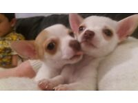 Gorgeous chihuahua puppies