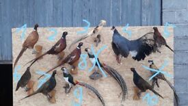 Taxidermy Pheasants