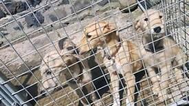 Wheaton bull greyhound pups
