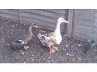 A quartet of ducks 3 ducks and 1 drake
