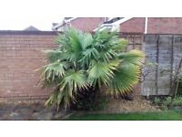 Mature Palm about 7 ft tall, needs re-planting ASAP, in good condition. Must collect.