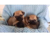 Almost pug puppies for sale