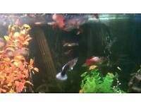 Live Guppies male and females